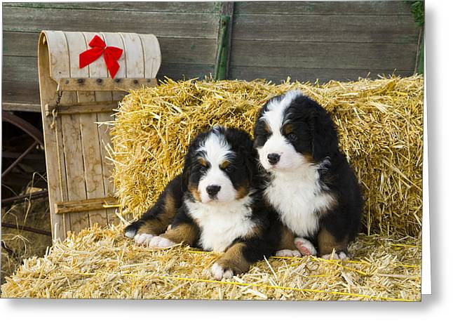 Tobogganing Greeting Cards - Bernese Mountain Dog Puppies Sit On Hay Greeting Card by Michael DeYoung