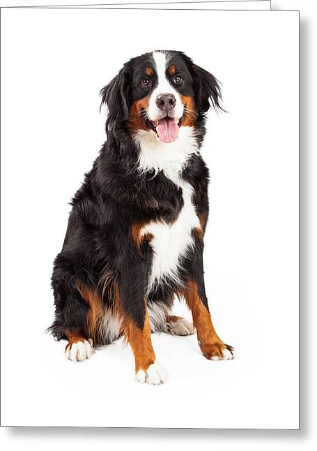 Obedient Greeting Cards - Bernese Mountain Dog Sitting Greeting Card by Susan  Schmitz