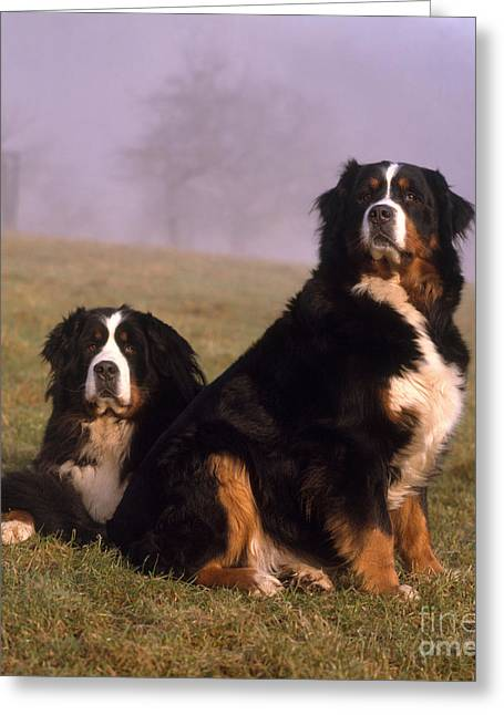 Canid Greeting Cards - Bernese Mountain Dogs Greeting Card by Hans Reinhard