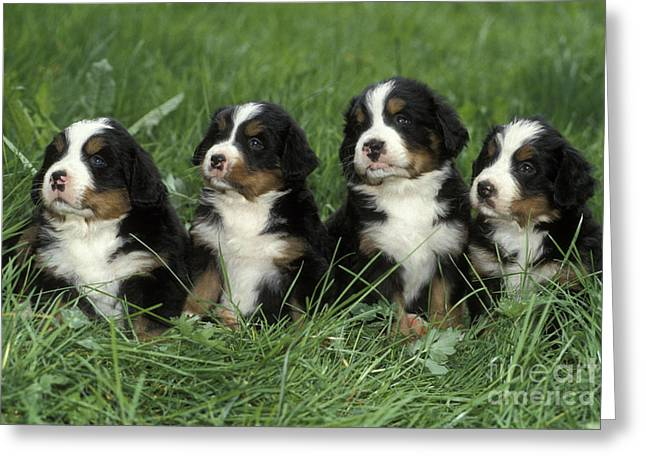 Best Friend Greeting Cards - Bernese Mountain Puppies Greeting Card by Rolf Kopfle