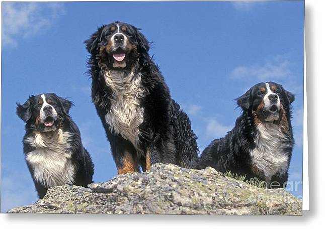 Best Friend Greeting Cards - Bernese Mountains Dogs Greeting Card by Jean-Michel Labat