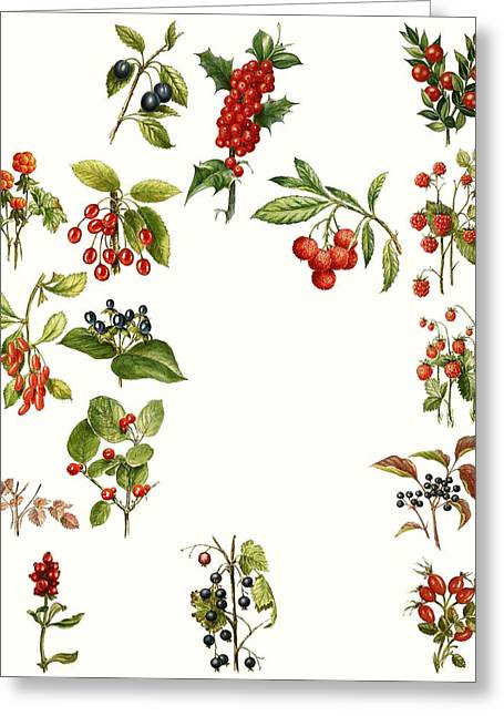 Cherry Drawings Greeting Cards - Berries Greeting Card by English School