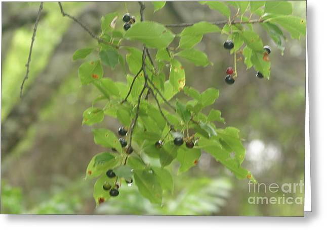 Lions Greeting Cards - Berries Greeting Card by Eric Brock