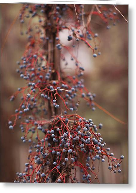 Sonoma County Greeting Cards - Berries On A Tree, Healdsburg, Russian Greeting Card by Panoramic Images