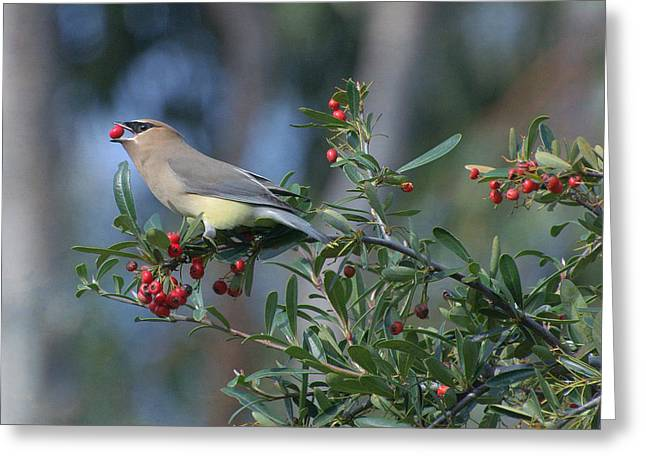 Cedar Waxwing Greeting Cards - Berry Good Greeting Card by Fraida Gutovich