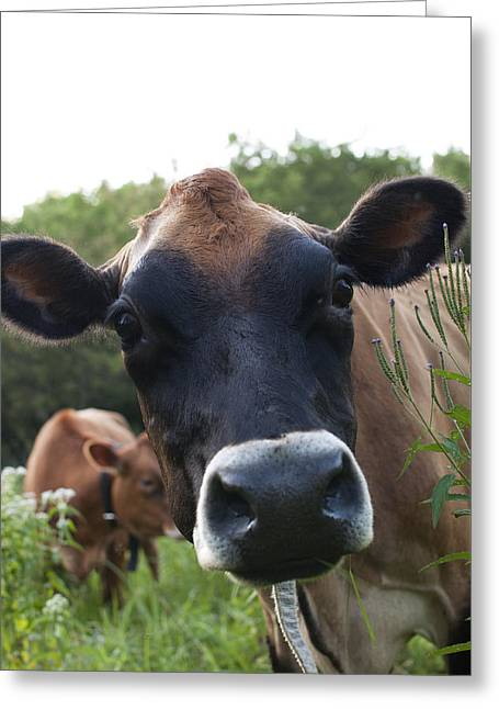 Cows Greeting Cards - Bertha Greeting Card by Indigo Schneider
