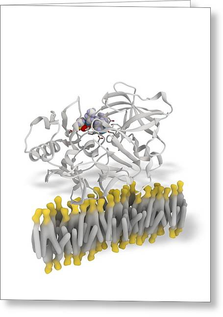 Beta Greeting Cards - Beta secretase enzyme, molecular model Greeting Card by Science Photo Library