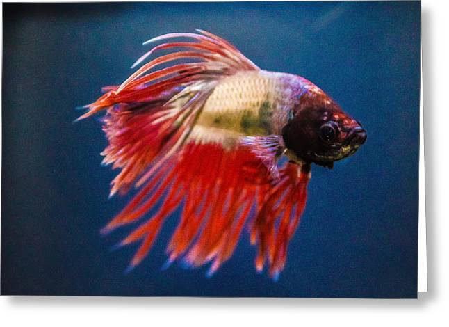 Siamese Fighting Fish Greeting Cards - Betta Fish 2 Greeting Card by Lisa Brandel