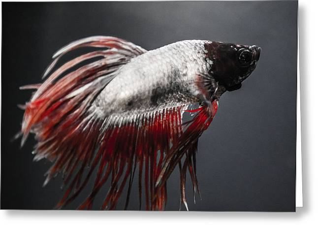 Siamese Fighting Fish Greeting Cards - Betta Fish Greeting Card by Lisa Brandel