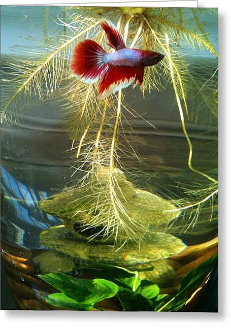 Betta Greeting Cards - Betta Fish Moby Dick Greeting Card by Lois Ivancin Tavaf