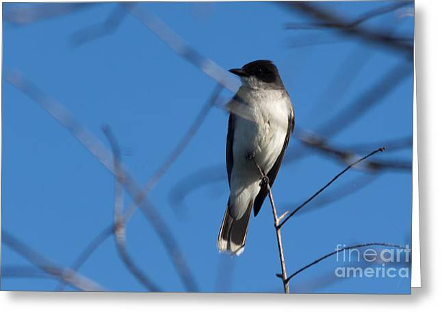 Eastern Kingbird Greeting Cards - Between the Branches Greeting Card by Meredith Moore