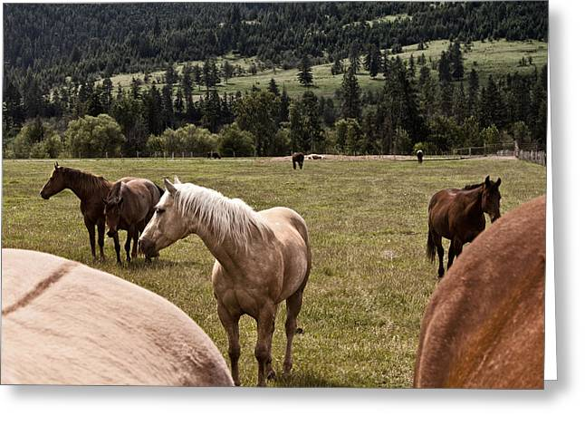 Quarter Horse Greeting Cards - Betwixt the Heinies Greeting Card by Monte Arnold
