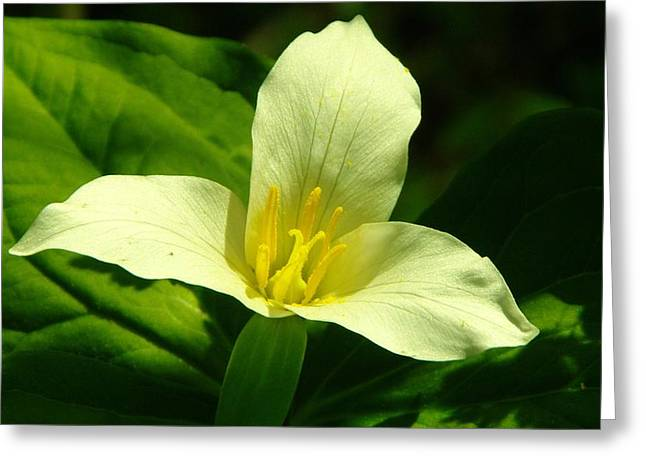Washington Beauty Greeting Cards - Beauty is a three petaled flower Greeting Card by Jeff  Swan