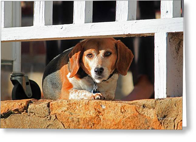 Guard Dog Greeting Cards - Beware - Guard Beagle on Duty Greeting Card by Suzanne Gaff