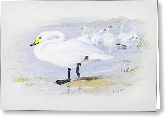 Bewick Greeting Cards - Bewicks swan Greeting Card by Celestial Images