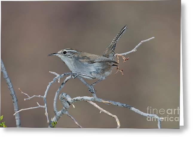 Bewick Greeting Cards - Bewicks Wren In Tree Greeting Card by Anthony Mercieca