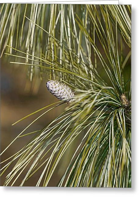 Bhutan Pine (pinus Wallichiana) Greeting Card by Dr. Nick Kurzenko