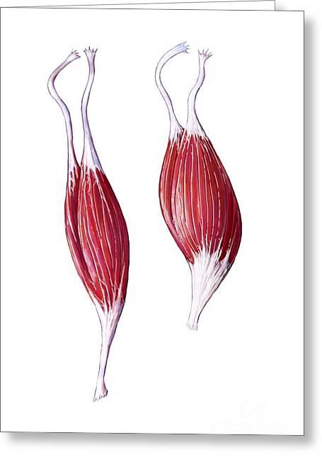 Biceps Greeting Cards - Biceps Brachii Muscles, Artwork Greeting Card by Bo Veisland
