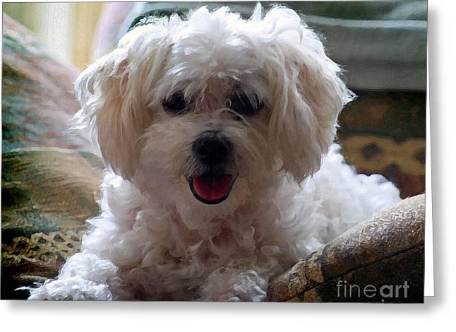 Bichon Frise Dog Portrait Greeting Card by Karen Adams
