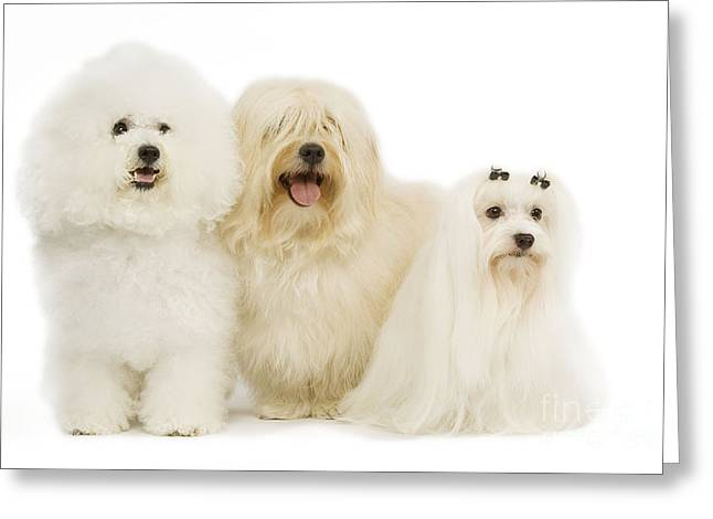 Bichon Frise, Havanese And Maltese Greeting Card by Jean-Michel Labat