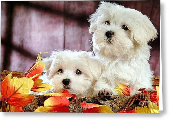 Bijon Frise Greeting Cards - Bichon Puppies Greeting Card by Marvin Blaine