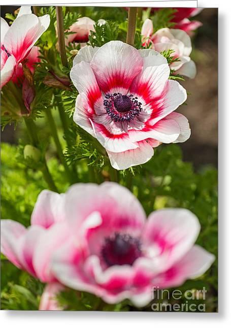 Anemone Coronaria Greeting Cards - Bicolor Anemone - Spring flowers in bloom. Greeting Card by Jamie Pham