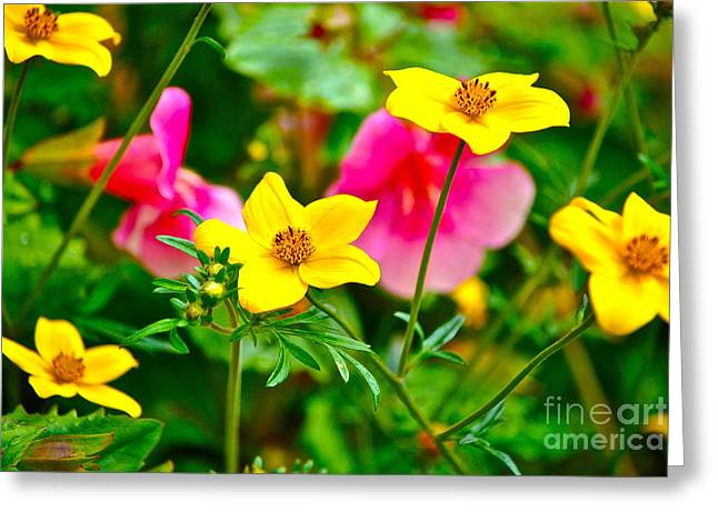 Biden Greeting Cards - Bidens laevis Greeting Card by Kimberly McDonell