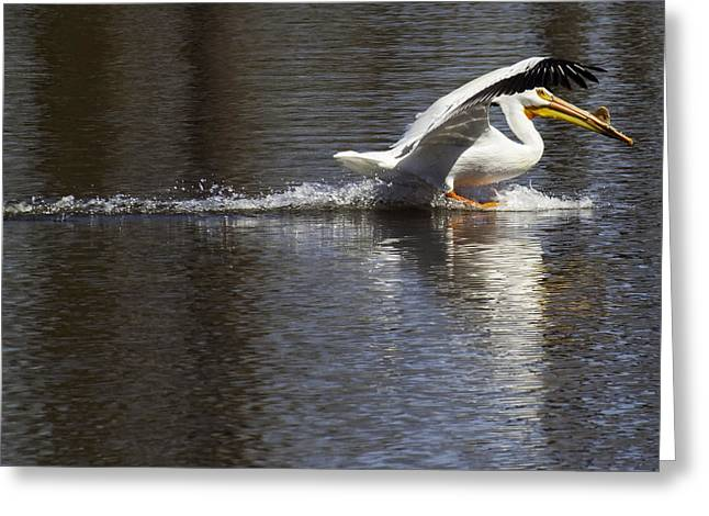Pelican Landing Greeting Cards - Big Bird Skidding In Greeting Card by Thomas Young
