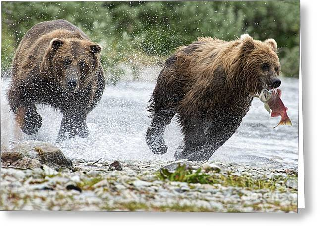 Big Bully On Funnel Creek Katmai National Park Greeting Card by Dan Friend