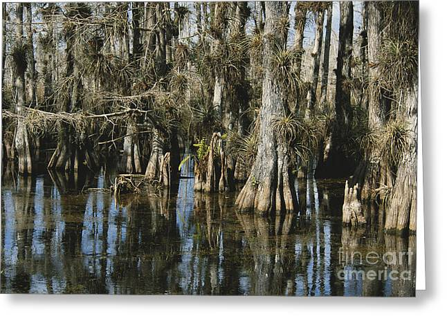 Big Cypress National Preserve Greeting Card by Mark Newman