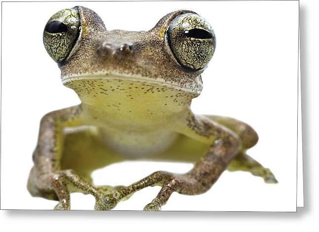 Treefrog Greeting Cards - big eyed frog Hypsiboas fasciatus Greeting Card by Dirk Ercken