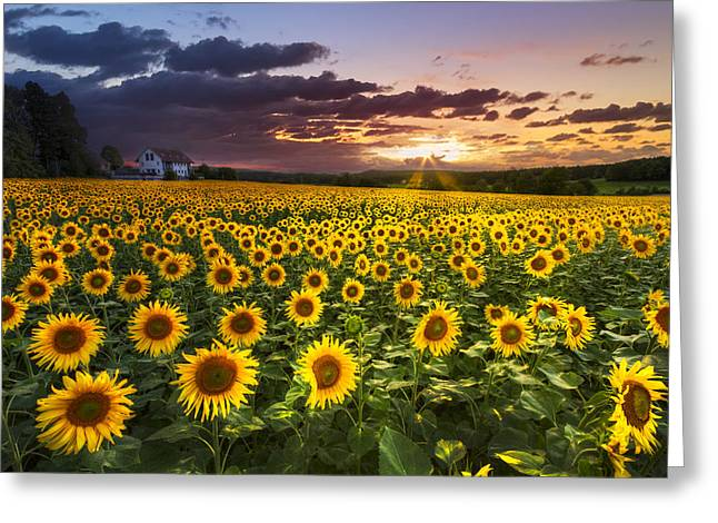 Swiss Photographs Greeting Cards - Big Field of Sunflowers Greeting Card by Debra and Dave Vanderlaan