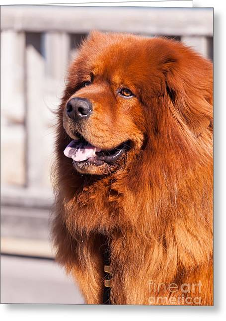 Luv Greeting Cards - Big Fluffy Dog 5D29703 Greeting Card by Wingsdomain Art and Photography