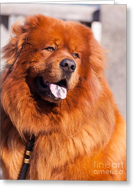 Luv Greeting Cards - Big Fluffy Dog 5D29704 Greeting Card by Wingsdomain Art and Photography