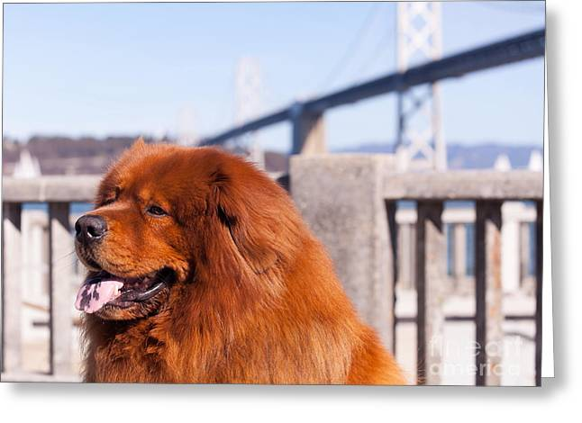 Luv Greeting Cards - Big Fluffy Dog At The San Francisco Bay Bridge 5D29709 Greeting Card by Wingsdomain Art and Photography