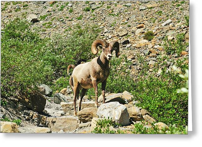 Glacier National Park Greeting Cards - Big Horn Attention Greeting Card by Greg Norrell