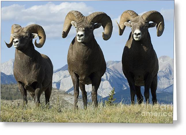 Big Horn Sheep Greeting Card by Bob Christopher