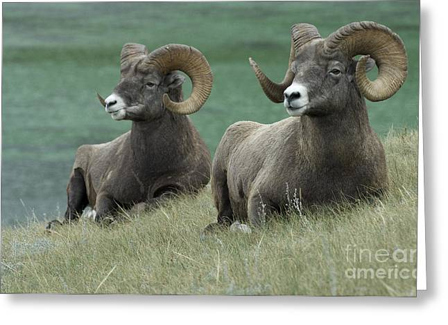 Big Horn Sheep 3 Greeting Card by Bob Christopher