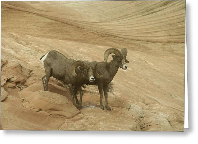 Living Things Greeting Cards - Big Horn Sheep Greeting Card by Jeff  Swan