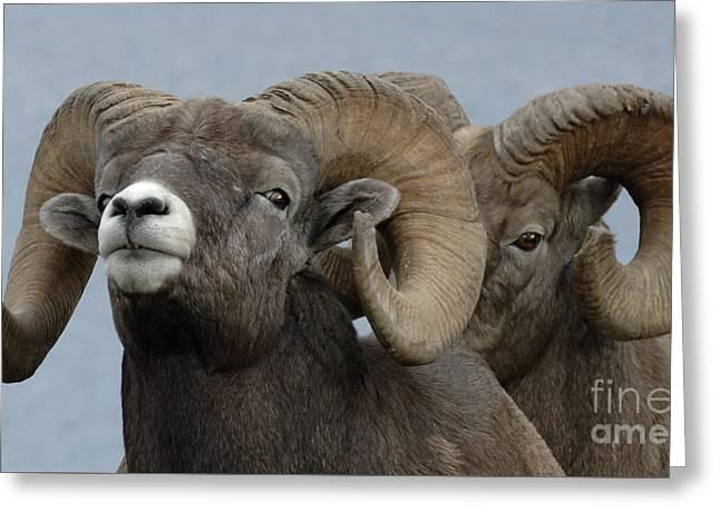 Big Horn Sheep Canada Greeting Card by Bob Christopher