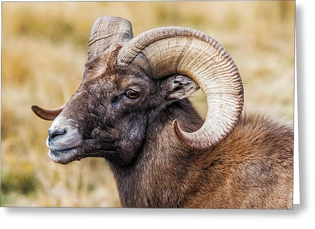 Big Horn Sheep Greeting Card by Paul Freidlund