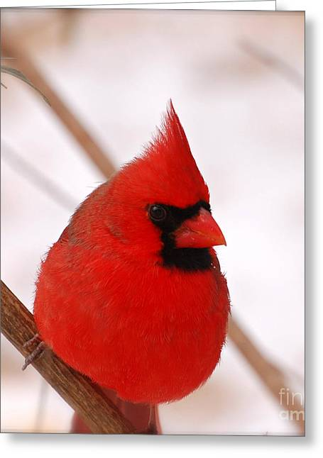 Snow Tree Prints Digital Greeting Cards - Big Red  Cardinal Bird In Snow Greeting Card by Peggy  Franz