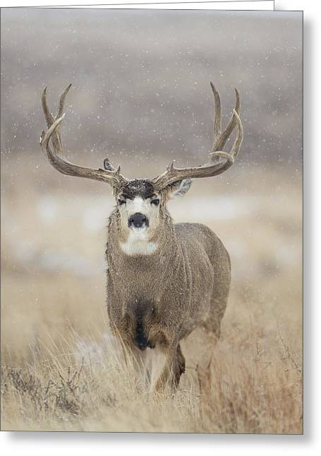 Mule Deer Buck Photograph Greeting Cards - Big Sky on Snowy Day Greeting Card by D Robert Franz