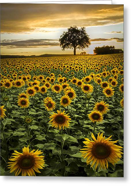 Italian Sunset Greeting Cards - Big Sunflower Field Greeting Card by Debra and Dave Vanderlaan