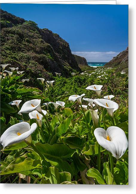 Pfeiffer Beach Greeting Cards - Big Sur Calla Lilies Greeting Card by About Light  Images