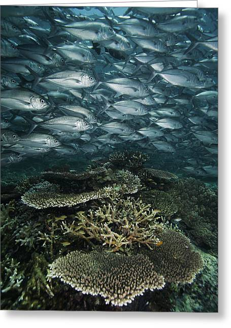 Kingfish Greeting Cards - Bigeye Trevally Schooling Sipadan Isl Greeting Card by Hiroya Minakuchi