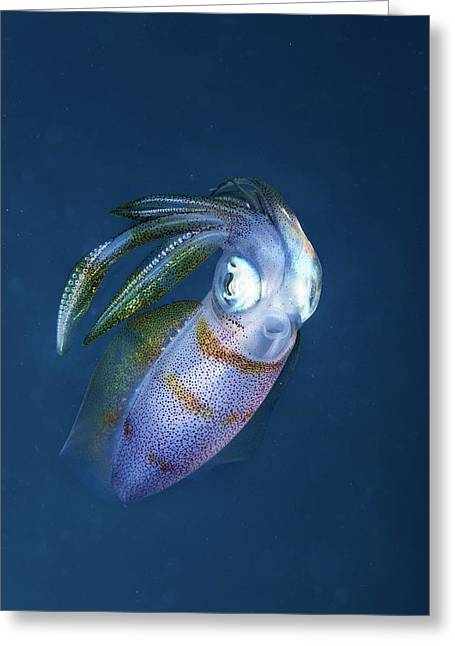 Bigfin Reef Squid Greeting Card by Ethan Daniels