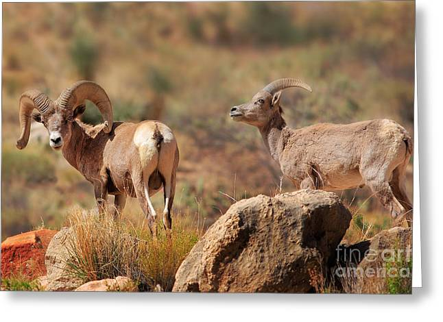 Bighorn Greeting Cards - Bighorn Duo Greeting Card by Inge Johnsson