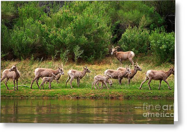 Bighorn Herd Greeting Card by Inge Johnsson