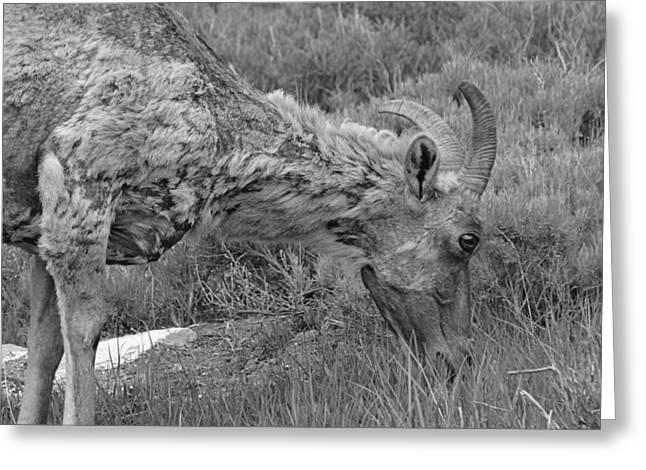 Grazing Snow Greeting Cards - Bighorn In Black And White Greeting Card by Dan Sproul